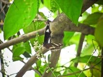 La mariposa le gusta buscar para el néctar en el árbol del paniculata o del rachavadee del buddleja en Tailandia Fotografía de archivo