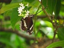 La mariposa le gusta buscar para el néctar en el árbol del paniculata o del rachavadee del buddleja en Tailandia Imagenes de archivo