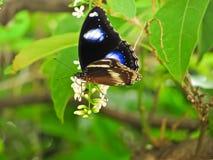 La mariposa le gusta buscar para el néctar en el paniculata del buddleja o el rachavadee en Tailandia Fotos de archivo libres de regalías