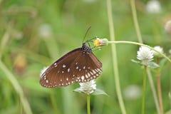 La mariposa lndian común del cuervo en las flores amarillas Fotos de archivo