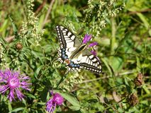 La mariposa Machaon trata el néctar de una flor del campo foto de archivo libre de regalías