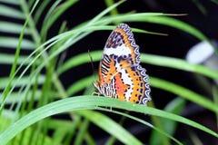 La mariposa malaya del Lacewing Fotografía de archivo libre de regalías