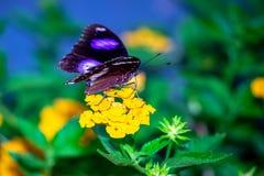 La mariposa manchada negro azul imagen de archivo libre de regalías