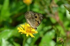 La mariposa negra y amarilla con los puntos blancos y azules en sus alas dobladas chupa el néctar de una flor amarilla en Krabi,  Foto de archivo