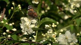 La mariposa pintó a la señora o el cardui cosmopolita de Vanesa agita sobre las flores del jazmín, cámara lenta almacen de video