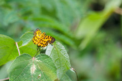 La mariposa plana del zigzag (decoratus de Odina) Imagen de archivo