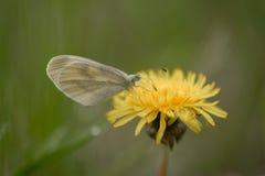 La mariposa que dobla sus alas, se sienta en una cuchilla de la hierba seca Fotos de archivo libres de regalías