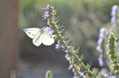 La mariposa recoge el néctar Imagenes de archivo