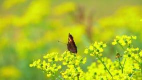 La mariposa recoge el néctar de las flores amarillas almacen de metraje de vídeo