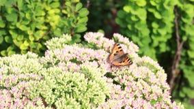 La mariposa recoge el néctar en las flores almacen de video
