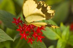 La mariposa revisa una flor roja Fotos de archivo