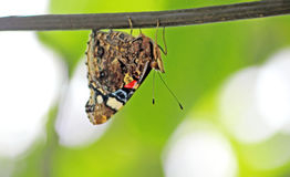 La mariposa se sienta en el alambre al revés Fotos de archivo