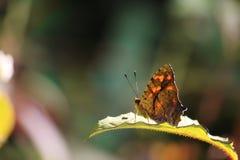 La mariposa se sienta en la hoja verde Imagen de archivo libre de regalías