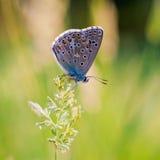 La mariposa se sienta en las flores Imagen de archivo