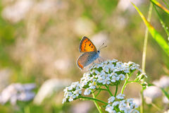 La mariposa se sienta en las flores blancas foto de archivo libre de regalías