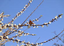 La mariposa se sienta en una flor del albaricoque Imagen de archivo libre de regalías