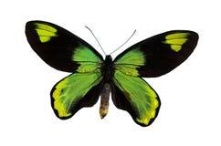 La mariposa verde Imágenes de archivo libres de regalías