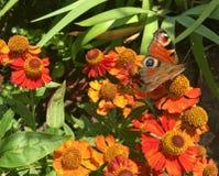 La mariposa voló para comer el néctar Fotografía de archivo libre de regalías