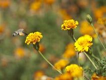 La mariposa vuela a la flor Imágenes de archivo libres de regalías