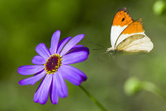 La mariposa vuela a la flor de la lila Fotos de archivo libres de regalías