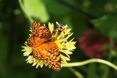 La mariposa y la abeja abigarradas del fritillary en gaillardia florecen Imágenes de archivo libres de regalías