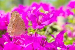 La mariposa y las flores, flowe de la buganvilla del jardín de la mariposa Fotografía de archivo libre de regalías