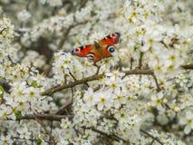 La mariposa y las ramas de flores de cerezo en la primavera cultivan un huerto fotografía de archivo libre de regalías