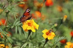 La mariposa y manosea la abeja Imagenes de archivo