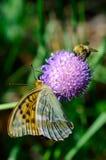 La mariposa y manosea la abeja Foto de archivo