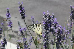 La mariposa y una abeja en una lavanda colocan Fotografía de archivo libre de regalías