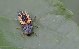 La mariquita de la larva Imágenes de archivo libres de regalías