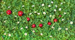 La mariquita juega en césped con las porciones de pequeñas flores de la margarita Imagen de archivo