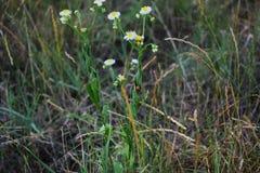 La mariquita ocultó en una hoja verde de una margarita del campo foto de archivo libre de regalías