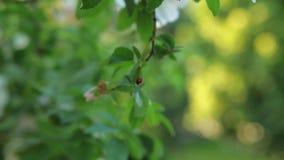 La mariquita se arrastra en el follaje verde del árbol con el fondo borroso Al lado de mariquita se arrastra la hormiga metrajes