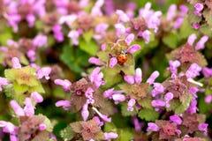 La mariquita se est? arrastrando en las flores p?rpuras de la primavera hermosa stock de ilustración
