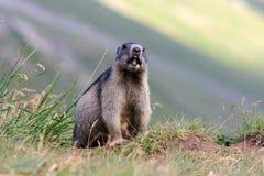 La marmota Fotos de archivo