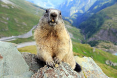 La marmota Fotos de archivo libres de regalías
