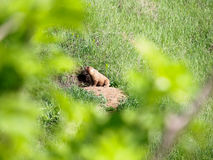 La marmota de la estepa se sienta cerca del visión en una montaña imagen de archivo