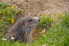 La marmota en él es agujero Imágenes de archivo libres de regalías