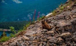 La marmota salvaje con las flores de la primavera de la montaña Foto de archivo