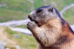 La marmotta Immagini Stock Libere da Diritti