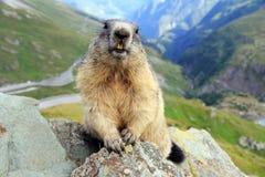 La marmotta Fotografie Stock Libere da Diritti