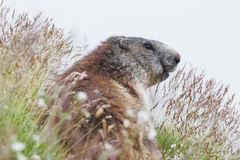 La marmotta alpina (marmota del Marmota) su erba Fotografie Stock