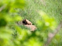 La marmotta della steppa si siede vicino al visone su una montagna Immagine Stock
