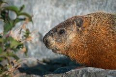 La marmotta - monax del Marmota Immagine Stock