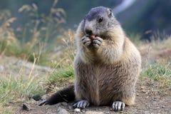 La marmotte Photos stock