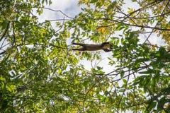La marta de pino Foto de archivo