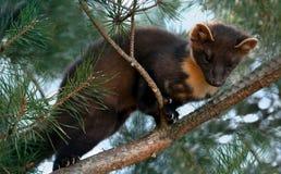 La marta de pino europea (martes del Martes), conocida lo más comúnmente posible como la marta de pino en Europa anglófona, y men foto de archivo libre de regalías