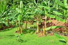 La Martinique, musée de banane de Sainte Marie dans les Antilles photos libres de droits