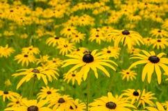 La masa del Rudbeckia florece con la abeja en el top Foto de archivo libre de regalías